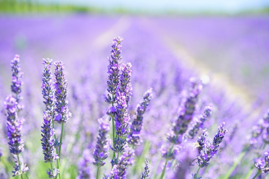Lavender as treatment for anxiety
