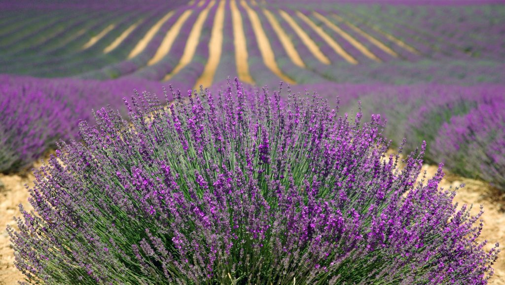 Lavender Farm Essential Oils